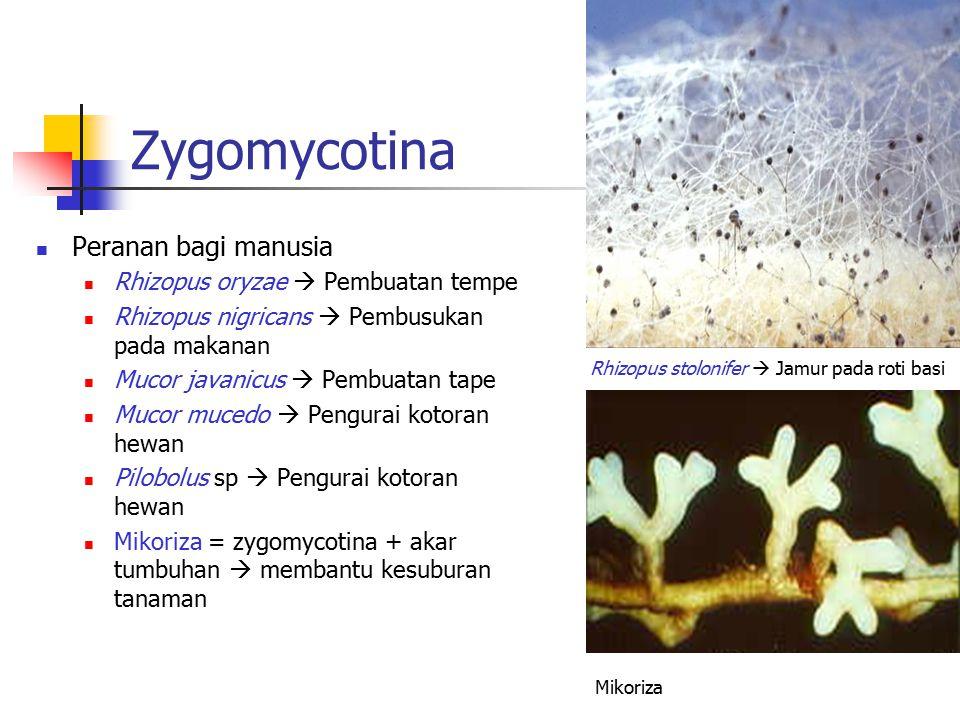 Zygomycotina Peranan bagi manusia Rhizopus oryzae  Pembuatan tempe Rhizopus nigricans  Pembusukan pada makanan Mucor javanicus  Pembuatan tape Muco
