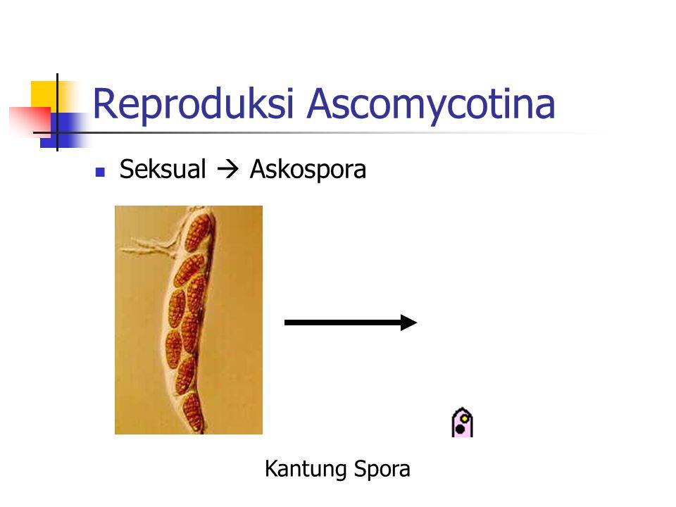 Reproduksi Ascomycotina Seksual  Askospora Kantung Spora