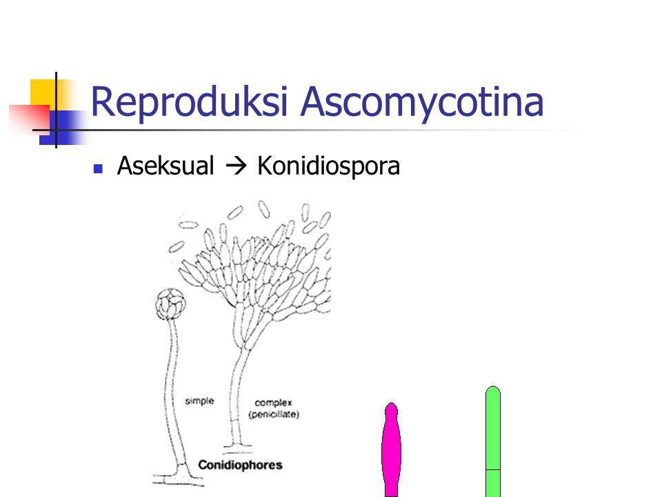 Reproduksi Ascomycotina Aseksual  Konidiospora