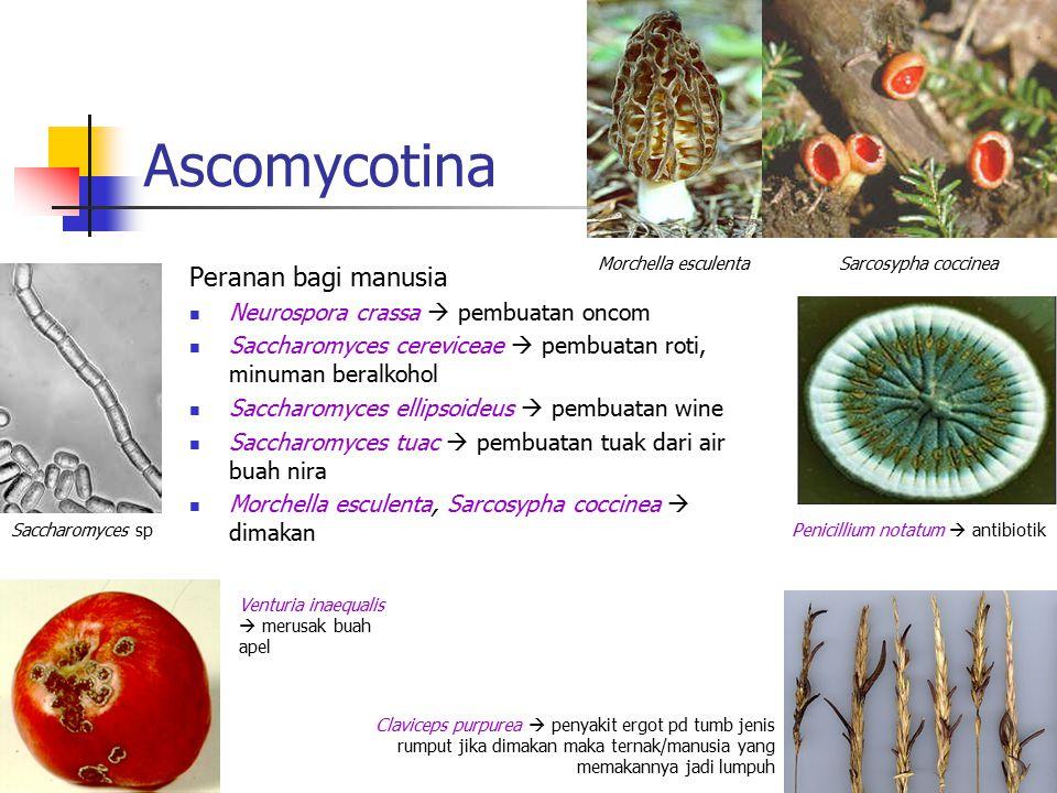 Ascomycotina Peranan bagi manusia Neurospora crassa  pembuatan oncom Saccharomyces cereviceae  pembuatan roti, minuman beralkohol Saccharomyces elli