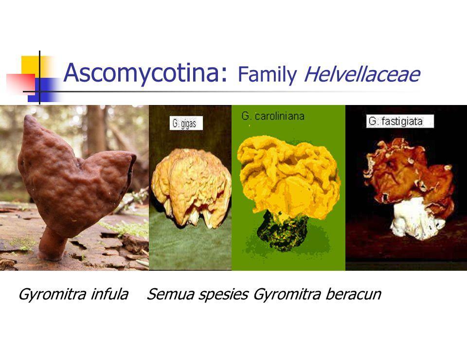Ascomycotina: Family Helvellaceae Gyromitra infulaSemua spesies Gyromitra beracun