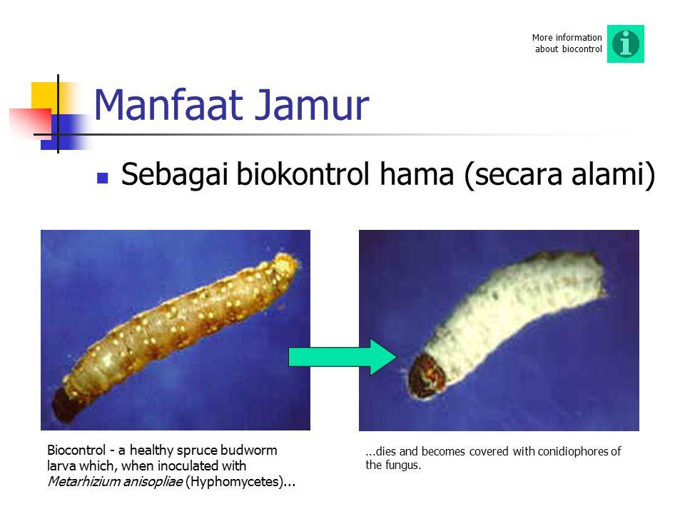 Manfaat Jamur Sebagai biokontrol hama (secara alami) Biocontrol - a healthy spruce budworm larva which, when inoculated with Metarhizium anisopliae (H