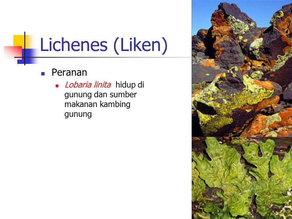 Lichenes (Liken) Peranan Lobaria linita hidup di gunung dan sumber makanan kambing gunung