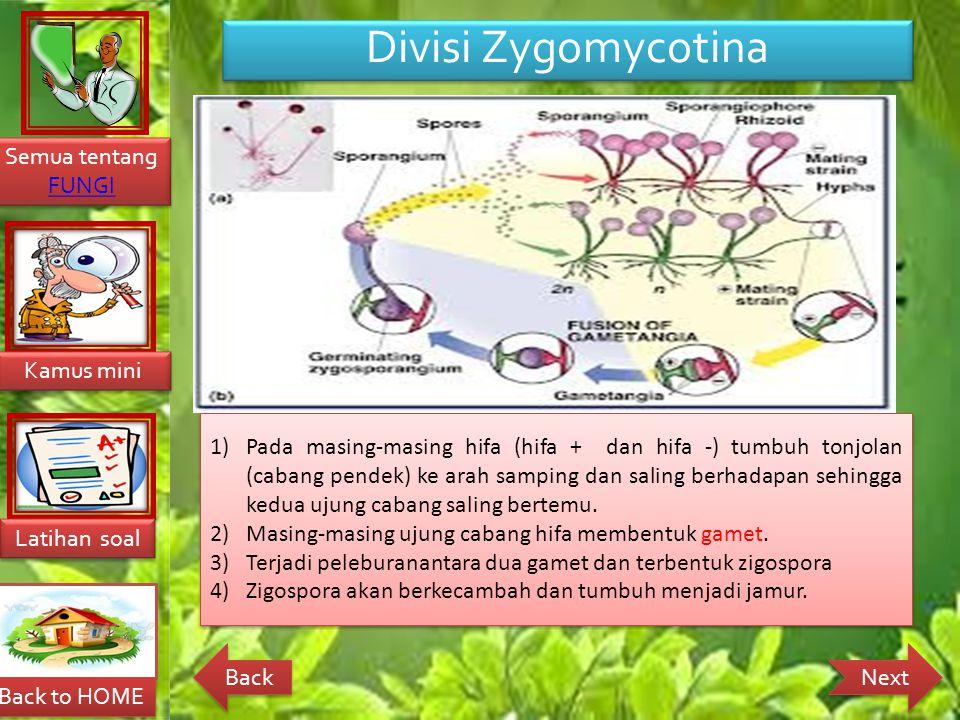 Back to HOME Latihan soal Latihan soal Kamus mini Kamus mini Semua tentang FUNGI FUNGI Semua tentang FUNGI FUNGI Next Back Divisi Zygomycotina Reproduksi Zygomicotina melakukan reproduksi secara aseksual dan seksual.