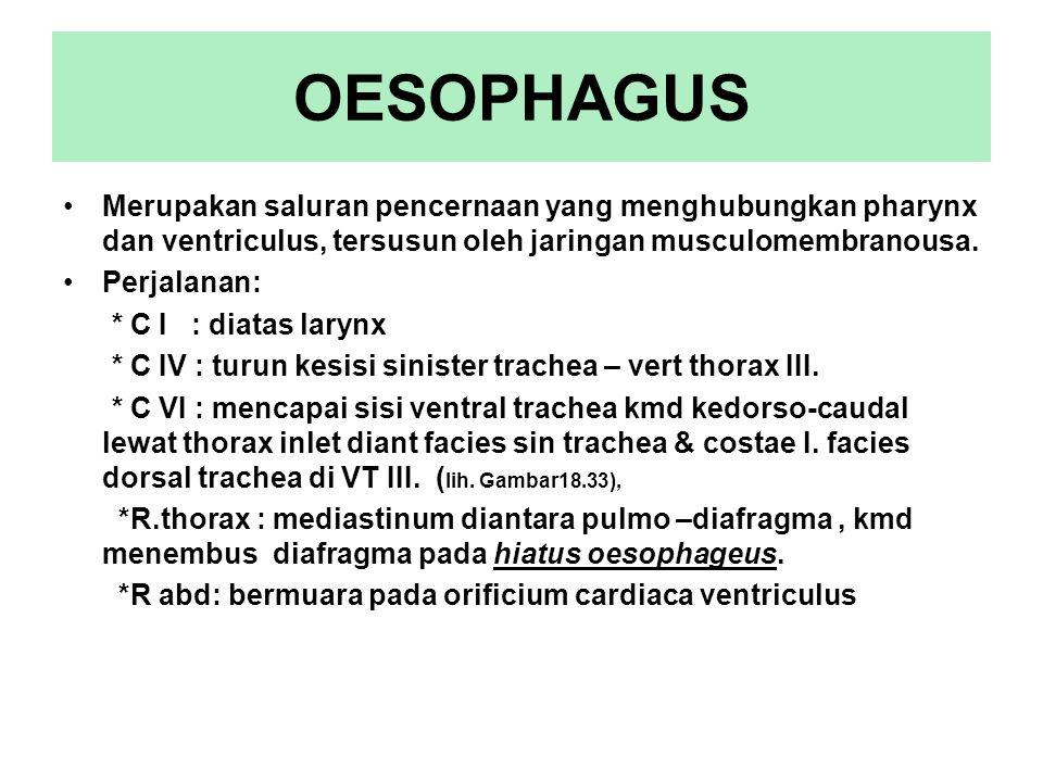 OESOPHAGUS Merupakan saluran pencernaan yang menghubungkan pharynx dan ventriculus, tersusun oleh jaringan musculomembranousa. Perjalanan: * C I : dia