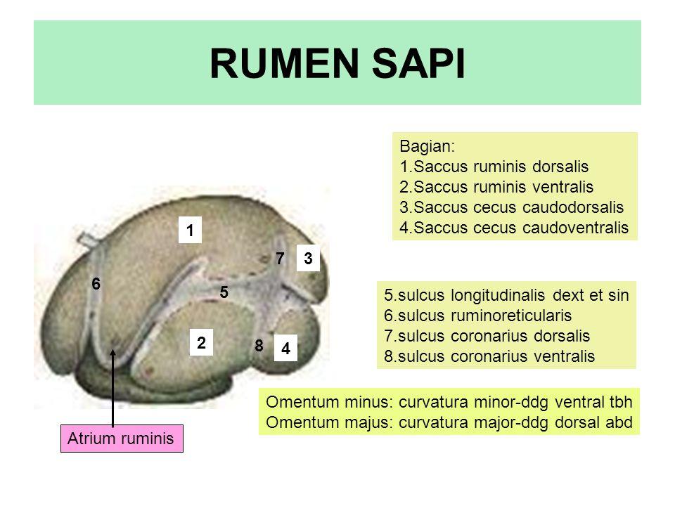 RUMEN SAPI Bagian: 1.Saccus ruminis dorsalis 2.Saccus ruminis ventralis 3.Saccus cecus caudodorsalis 4.Saccus cecus caudoventralis 5.sulcus longitudin