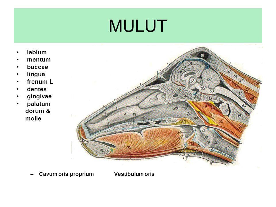 MULUT labium mentum buccae lingua frenum L dentes gingivae palatum dorum & molle –Cavum oris proprium Vestibulum oris