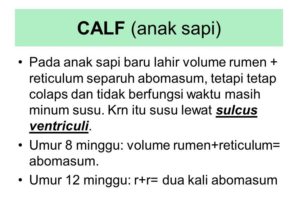 CALF (anak sapi) Pada anak sapi baru lahir volume rumen + reticulum separuh abomasum, tetapi tetap colaps dan tidak berfungsi waktu masih minum susu.