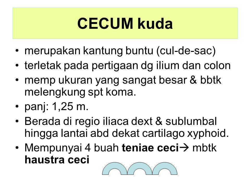CECUM kuda merupakan kantung buntu (cul-de-sac) terletak pada pertigaan dg ilium dan colon memp ukuran yang sangat besar & bbtk melengkung spt koma. p