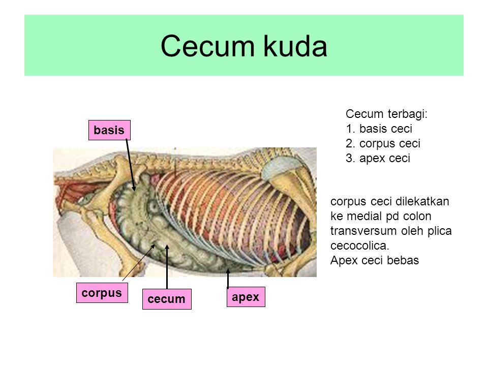 Cecum kuda cecum Cecum terbagi: 1. basis ceci 2. corpus ceci 3. apex ceci apex corpus ceci dilekatkan ke medial pd colon transversum oleh plica cecoco