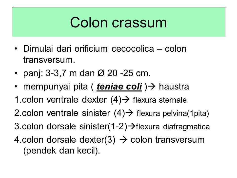 Colon crassum Dimulai dari orificium cecocolica – colon transversum. panj: 3-3,7 m dan Ø 20 -25 cm. mempunyai pita ( teniae coli )  haustra 1.colon v