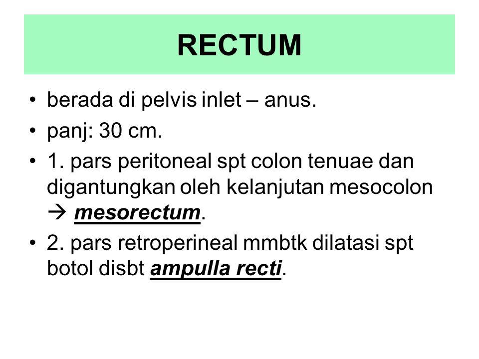 RECTUM berada di pelvis inlet – anus. panj: 30 cm. 1. pars peritoneal spt colon tenuae dan digantungkan oleh kelanjutan mesocolon  mesorectum. 2. par