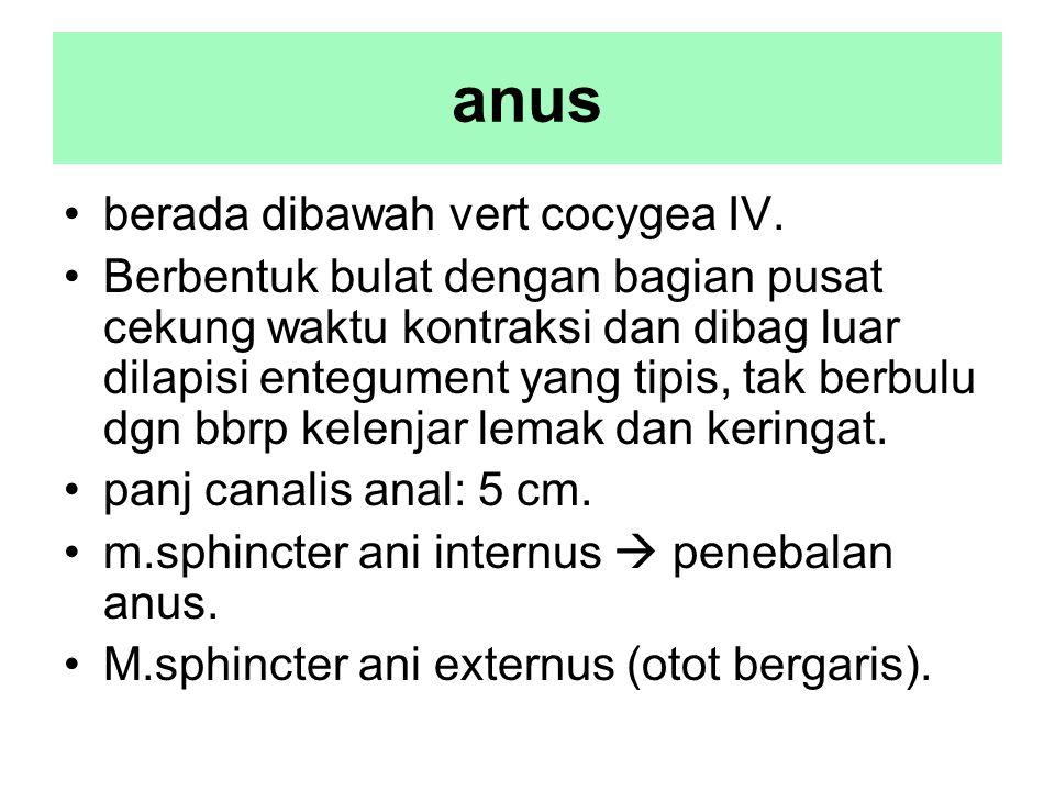 anus berada dibawah vert cocygea IV. Berbentuk bulat dengan bagian pusat cekung waktu kontraksi dan dibag luar dilapisi entegument yang tipis, tak ber