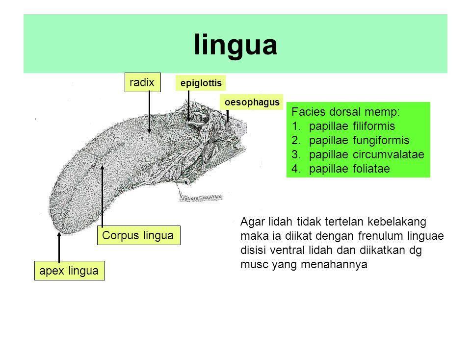 lingua apex lingua Corpus lingua radix Facies dorsal memp: 1.papillae filiformis 2.papillae fungiformis 3.papillae circumvalatae 4.papillae foliatae o