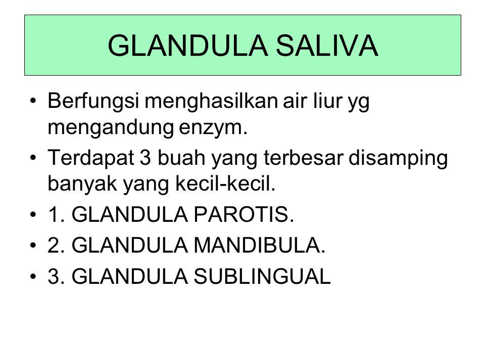 GLANDULA SALIVA Berfungsi menghasilkan air liur yg mengandung enzym. Terdapat 3 buah yang terbesar disamping banyak yang kecil-kecil. 1. GLANDULA PARO