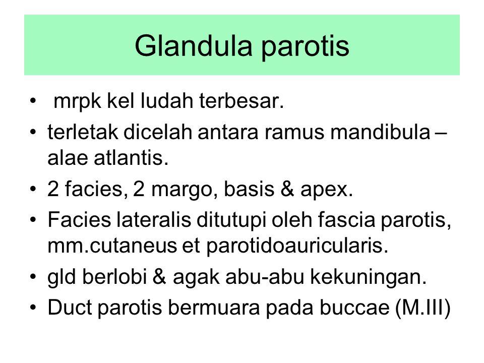 Glandula parotis mrpk kel ludah terbesar. terletak dicelah antara ramus mandibula – alae atlantis. 2 facies, 2 margo, basis & apex. Facies lateralis d