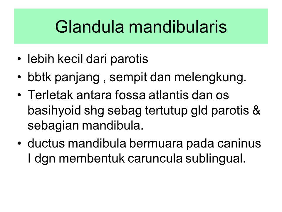 Glandula mandibularis lebih kecil dari parotis bbtk panjang, sempit dan melengkung. Terletak antara fossa atlantis dan os basihyoid shg sebag tertutup