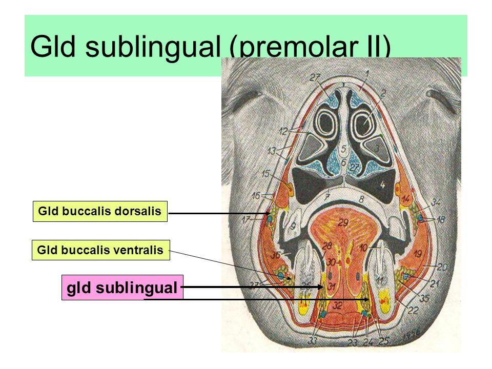 Gld sublingual (premolar II) gld sublingual Gld buccalis dorsalis Gld buccalis ventralis