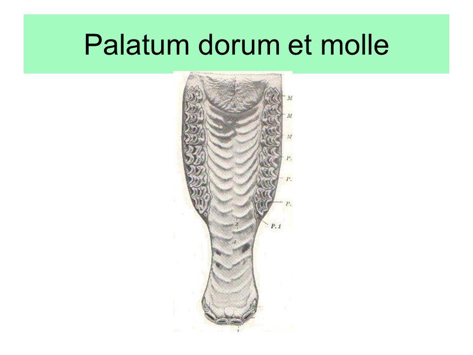 Palatum dorum et molle