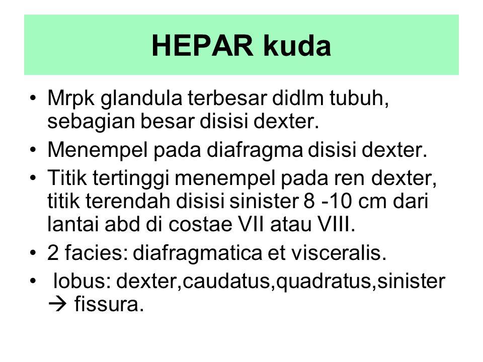 HEPAR kuda Mrpk glandula terbesar didlm tubuh, sebagian besar disisi dexter. Menempel pada diafragma disisi dexter. Titik tertinggi menempel pada ren