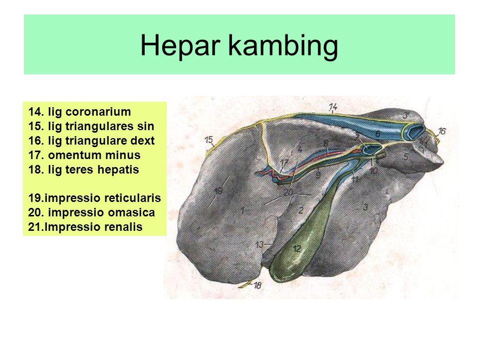 Hepar kambing 14. lig coronarium 15. lig triangulares sin 16. lig triangulare dext 17. omentum minus 18. lig teres hepatis 19.impressio reticularis 20
