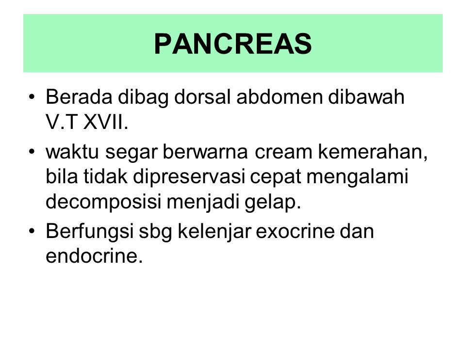 PANCREAS Berada dibag dorsal abdomen dibawah V.T XVII. waktu segar berwarna cream kemerahan, bila tidak dipreservasi cepat mengalami decomposisi menja