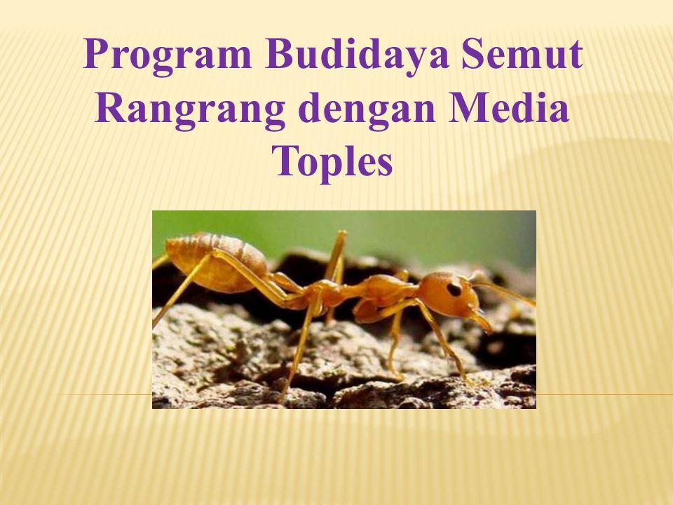 Program Budidaya Semut Rangrang dengan Media Toples