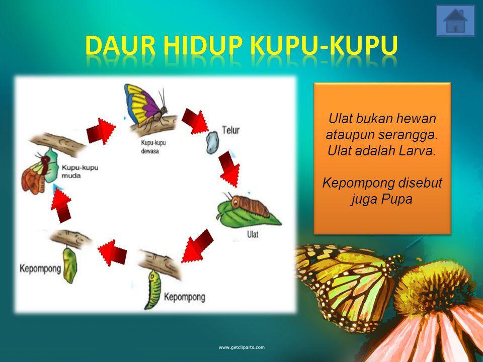 Metamorfosis sempurna merupakan jenis perubahan hewan yang melalui 4 tahapan pertumbuhan dan perubahan, yakni: Telur ---> Larva --> Pupa --> Dewasa.