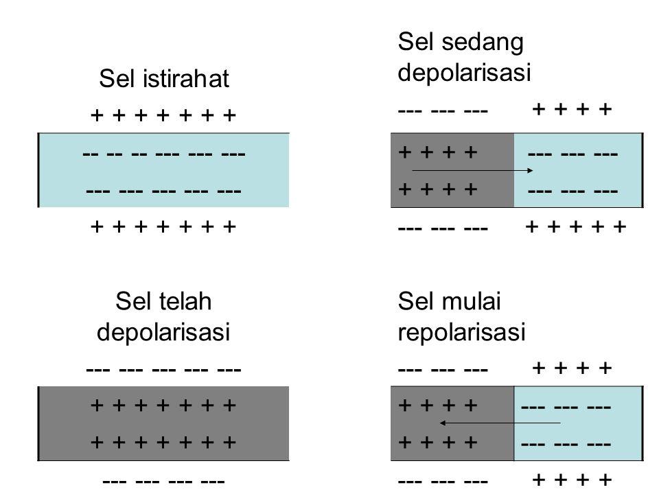 Sel istirahat + + + + + + + Sel sedang depolarisasi --- --- --- + + + + -- -- -- --- --- --- + + --- --- --- + + + + + + + Sel telah depolarisasi ---