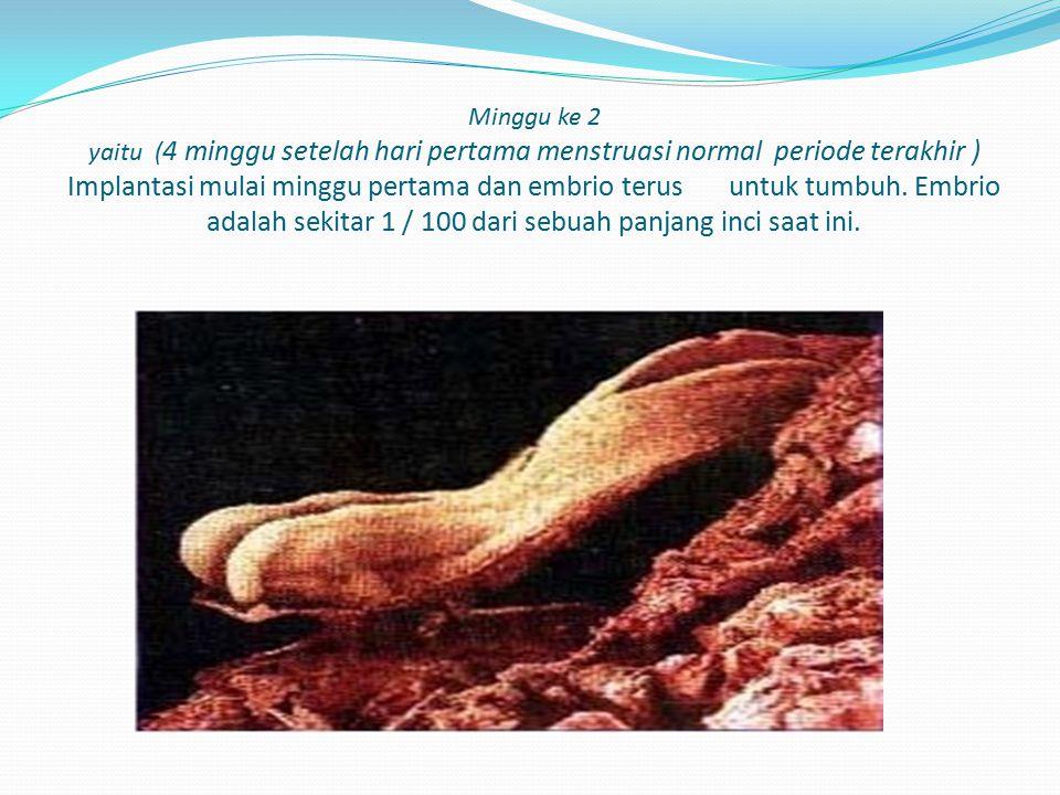 Minggu ke 2 yaitu ( 4 minggu setelah hari pertama menstruasi normal periode terakhir ) Implantasi mulai minggu pertama dan embrio terus untuk tumbuh.