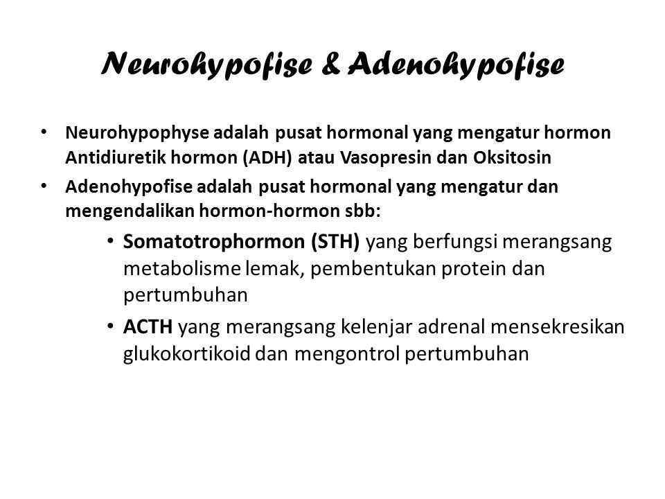 Hormon yang diekskresikan Adenohypophyse Somatrophin ( Somatotrophin hormone )STH yang merangsang metabolisme lemak, pembentukan protein dan pertumbuhan Cortrophin (Adrenocorticotrophe hormone) ACTH yang berfungsi merangsang kelenjar adrenal mensekresikan glukokortikoid dan mengatur pertumbuhan Thyrotrophin ( Thyrotrophe stimulating hormone ) TSH yang berfungsi mengontrol pertumbuhan dan perkembangan kelenjar gondok dan merangsang sekresi thyroxin ( T4) dan tryodotironin ( T5 ) Gonadotrophin Follicle Stimulating Hormone ( FSH ) Interstitial-cell Stimulating Hormone ( ICSH ) Luteotrophic Hormone LTH (Prolactin )