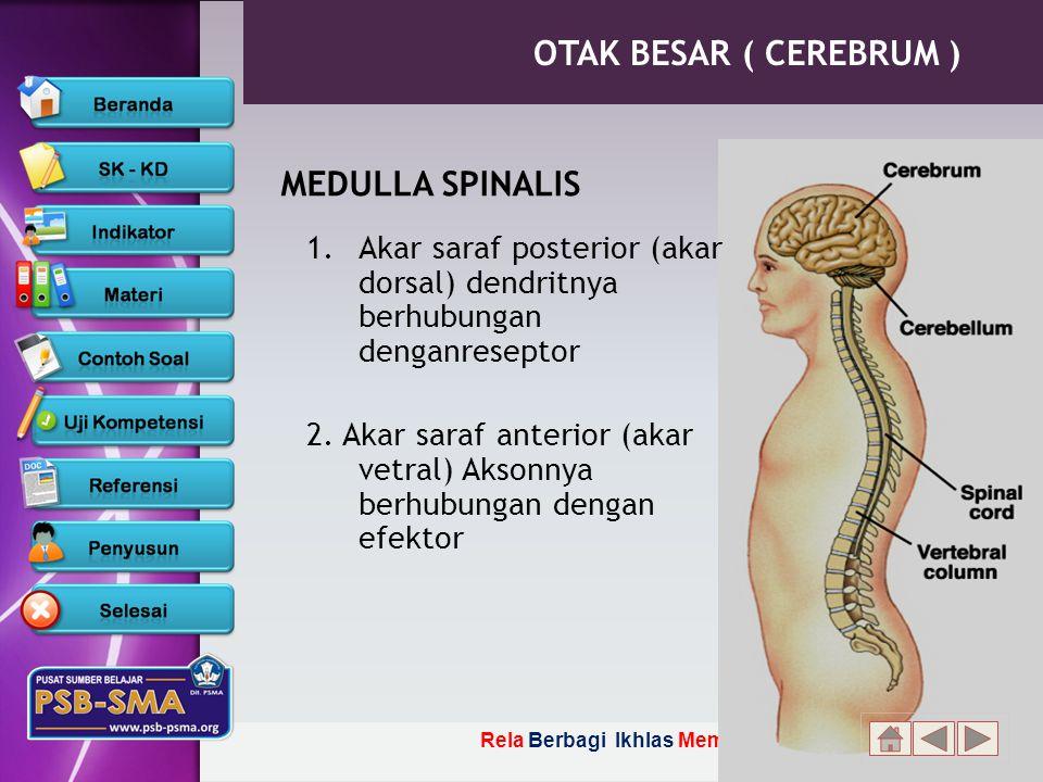 Rela Berbagi Ikhlas Memberi MEDULLA SPINALIS 1.Akar saraf posterior (akar dorsal) dendritnya berhubungan denganreseptor 2.