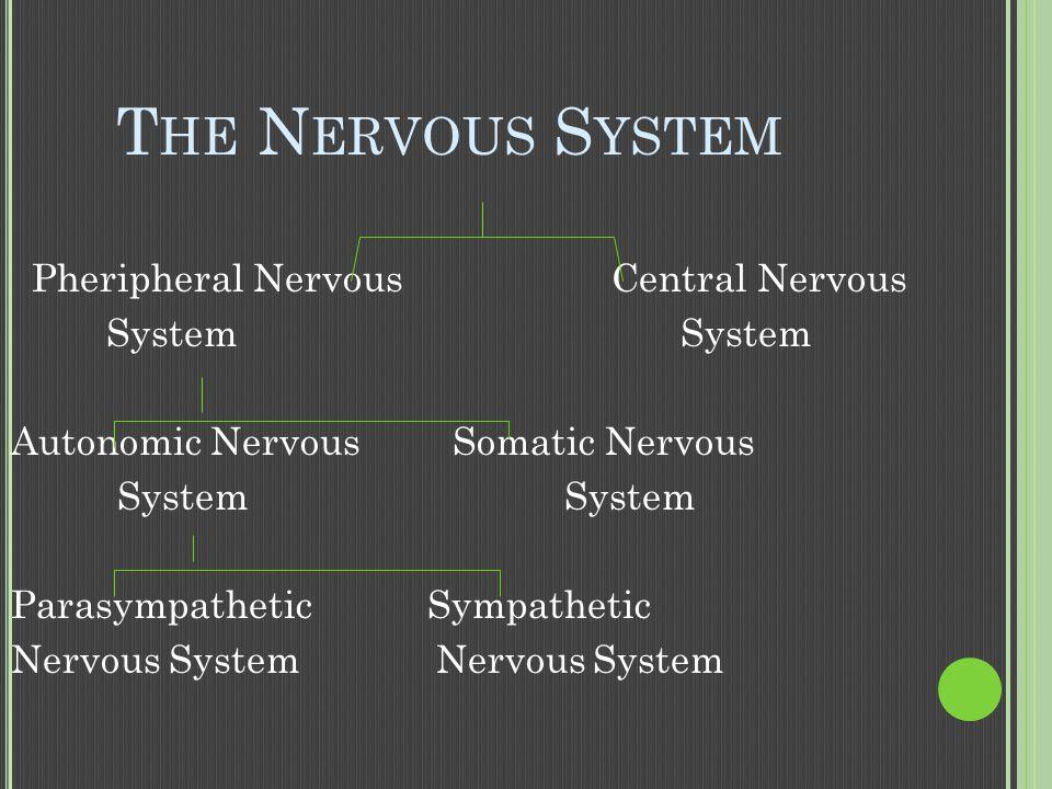 T HE N ERVOUS S YSTEM Pheripheral Nervous Central Nervous System System Autonomic Nervous Somatic Nervous System System Parasympathetic Sympathetic Nervous System