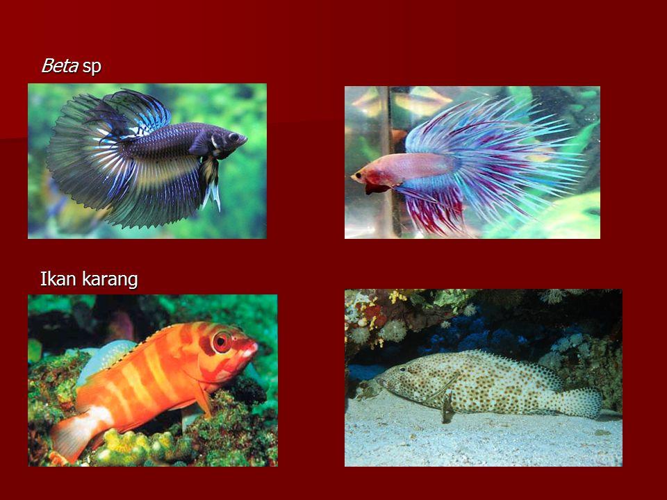 Beta sp Ikan karang