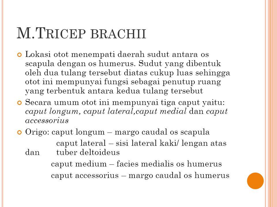 M.T RICEP BRACHII Lokasi otot menempati daerah sudut antara os scapula dengan os humerus. Sudut yang dibentuk oleh dua tulang tersebut diatas cukup lu