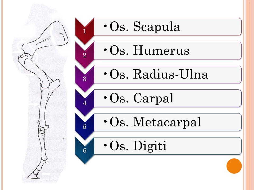 1 Os. Scapula 2 Os. Humerus 3 Os. Radius-Ulna 4 Os. Carpal 5 Os. Metacarpal 6 Os. Digiti
