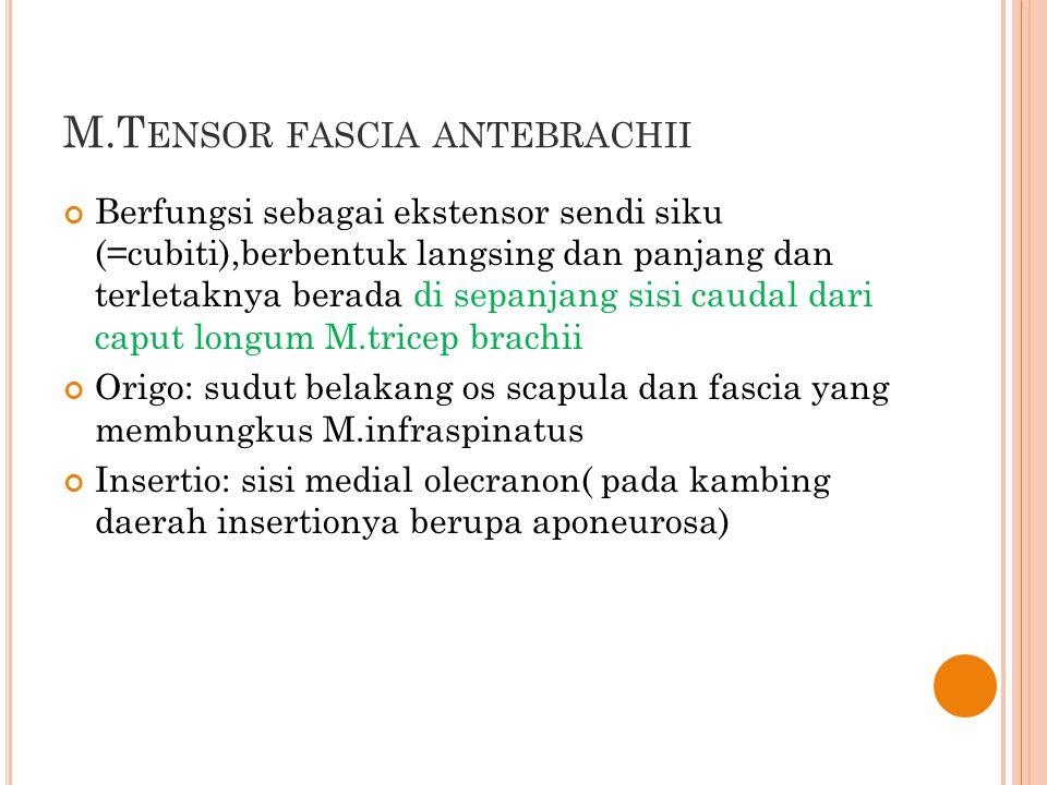 M.T ENSOR FASCIA ANTEBRACHII Berfungsi sebagai ekstensor sendi siku (=cubiti),berbentuk langsing dan panjang dan terletaknya berada di sepanjang sisi