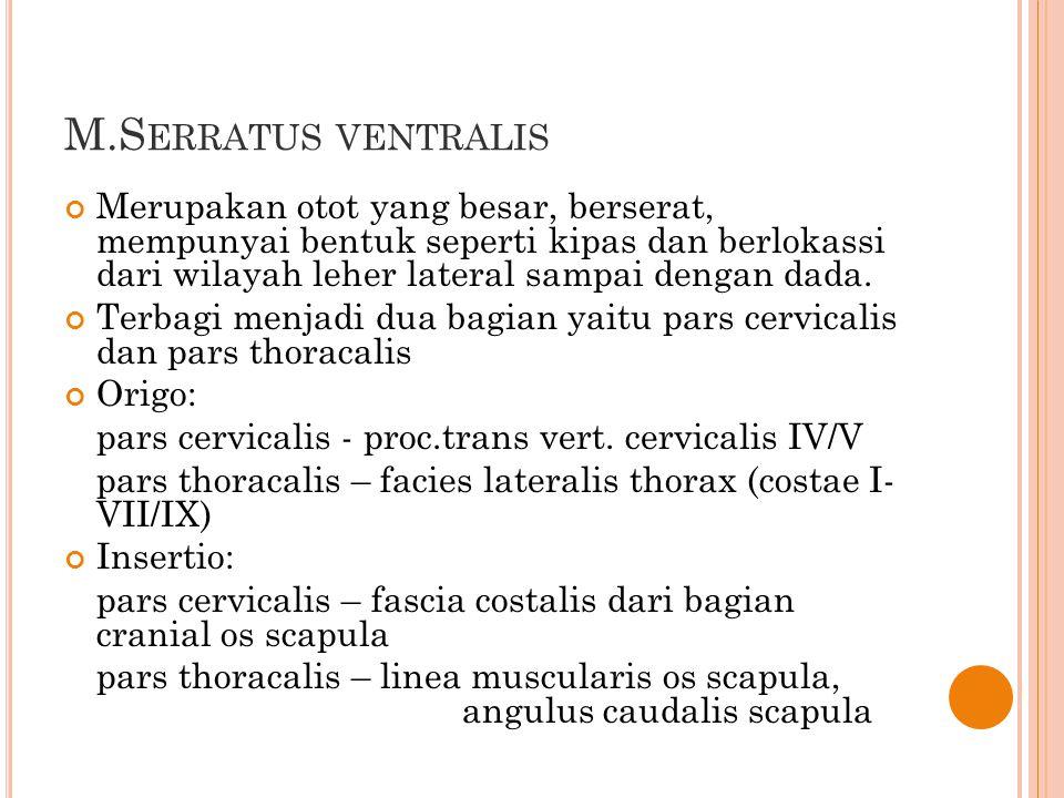 M.S ERRATUS VENTRALIS Merupakan otot yang besar, berserat, mempunyai bentuk seperti kipas dan berlokassi dari wilayah leher lateral sampai dengan dada