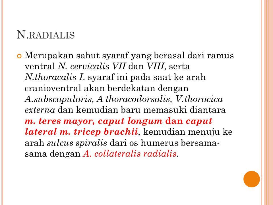 N. RADIALIS Merupakan sabut syaraf yang berasal dari ramus ventral N. cervicalis VII dan VIII, serta N.thoracalis I. syaraf ini pada saat ke arah cran