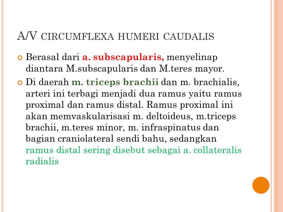 A/V CIRCUMFLEXA HUMERI CAUDALIS Berasal dari a. subscapularis, menyelinap diantara M.subscapularis dan M.teres mayor. Di daerah m. triceps brachii dan