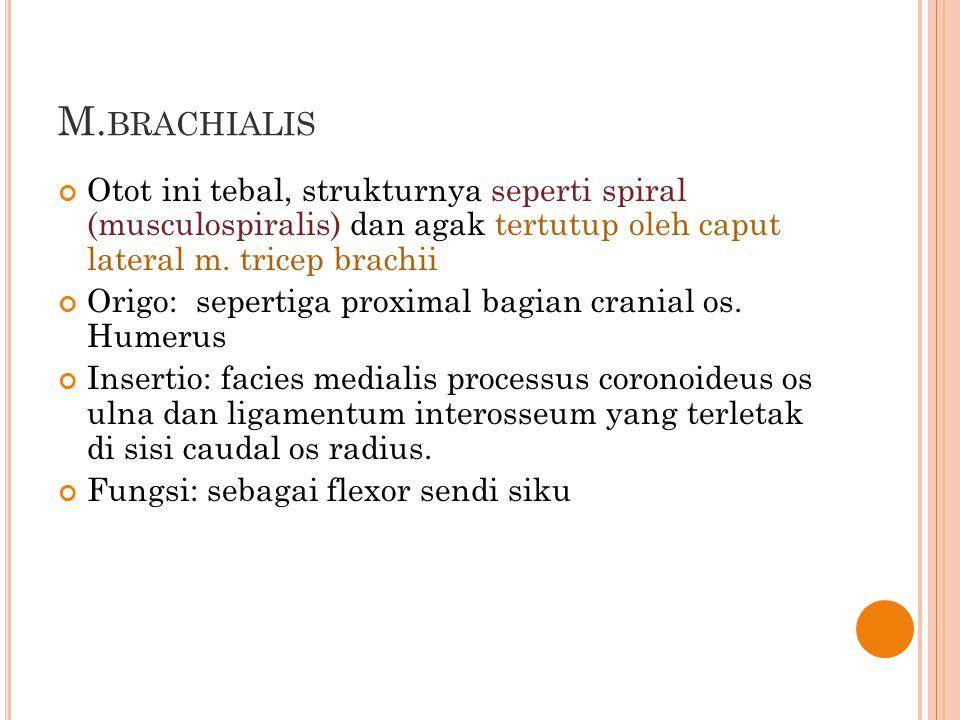 M. BRACHIALIS Otot ini tebal, strukturnya seperti spiral (musculospiralis) dan agak tertutup oleh caput lateral m. tricep brachii Origo: sepertiga pro