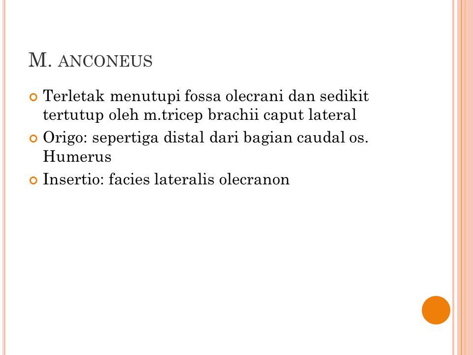 M. ANCONEUS Terletak menutupi fossa olecrani dan sedikit tertutup oleh m.tricep brachii caput lateral Origo: sepertiga distal dari bagian caudal os. H