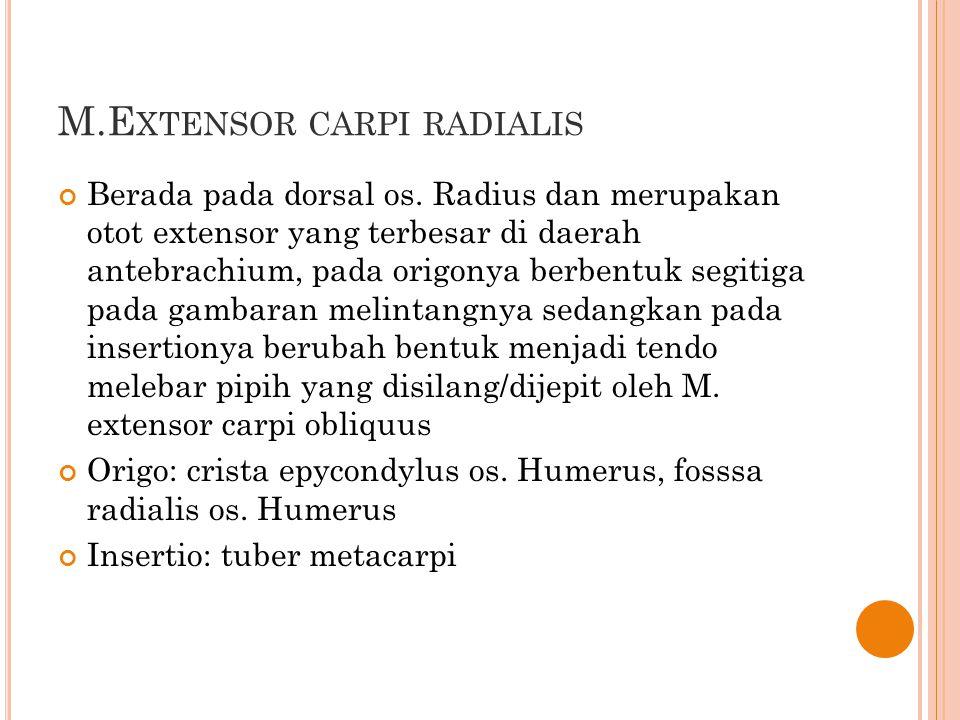 M.E XTENSOR CARPI RADIALIS Berada pada dorsal os. Radius dan merupakan otot extensor yang terbesar di daerah antebrachium, pada origonya berbentuk seg