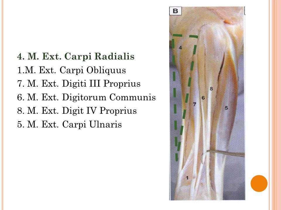 4. M. Ext. Carpi Radialis 1.M. Ext. Carpi Obliquus 7. M. Ext. Digiti III Proprius 6. M. Ext. Digitorum Communis 8. M. Ext. Digit IV Proprius 5. M. Ext