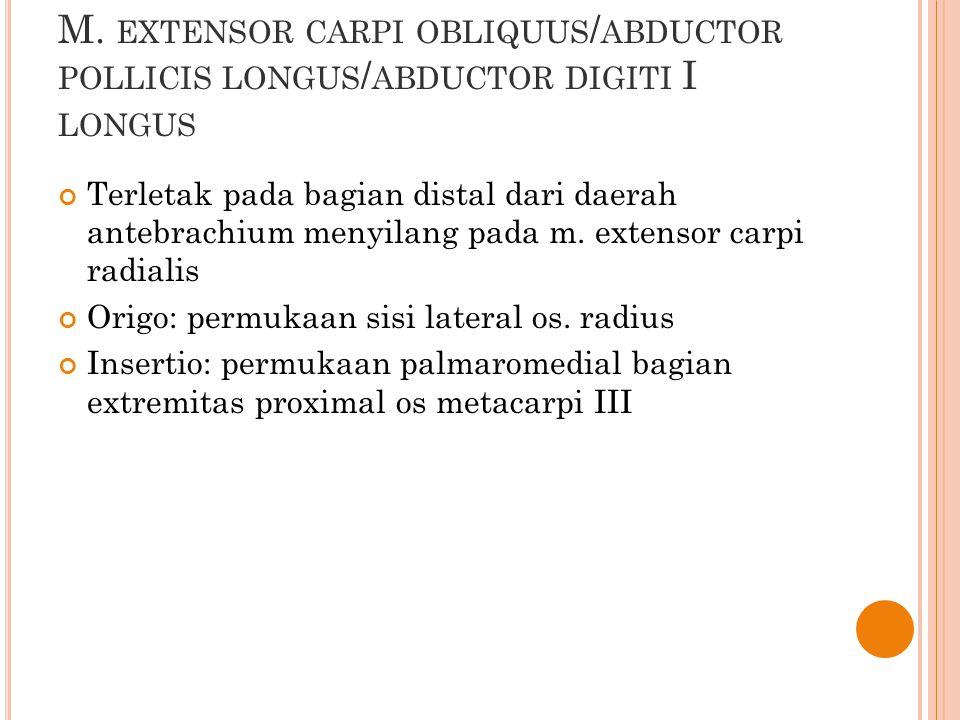 M. EXTENSOR CARPI OBLIQUUS / ABDUCTOR POLLICIS LONGUS / ABDUCTOR DIGITI I LONGUS Terletak pada bagian distal dari daerah antebrachium menyilang pada m