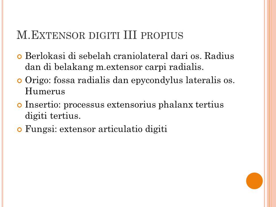 M.E XTENSOR DIGITI III PROPIUS Berlokasi di sebelah craniolateral dari os. Radius dan di belakang m.extensor carpi radialis. Origo: fossa radialis dan