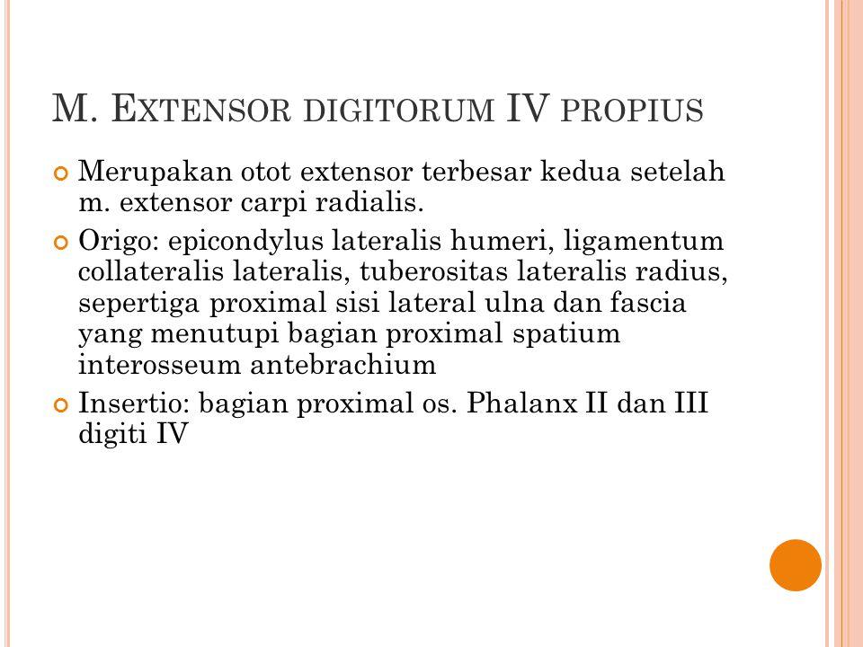 M. E XTENSOR DIGITORUM IV PROPIUS Merupakan otot extensor terbesar kedua setelah m. extensor carpi radialis. Origo: epicondylus lateralis humeri, liga