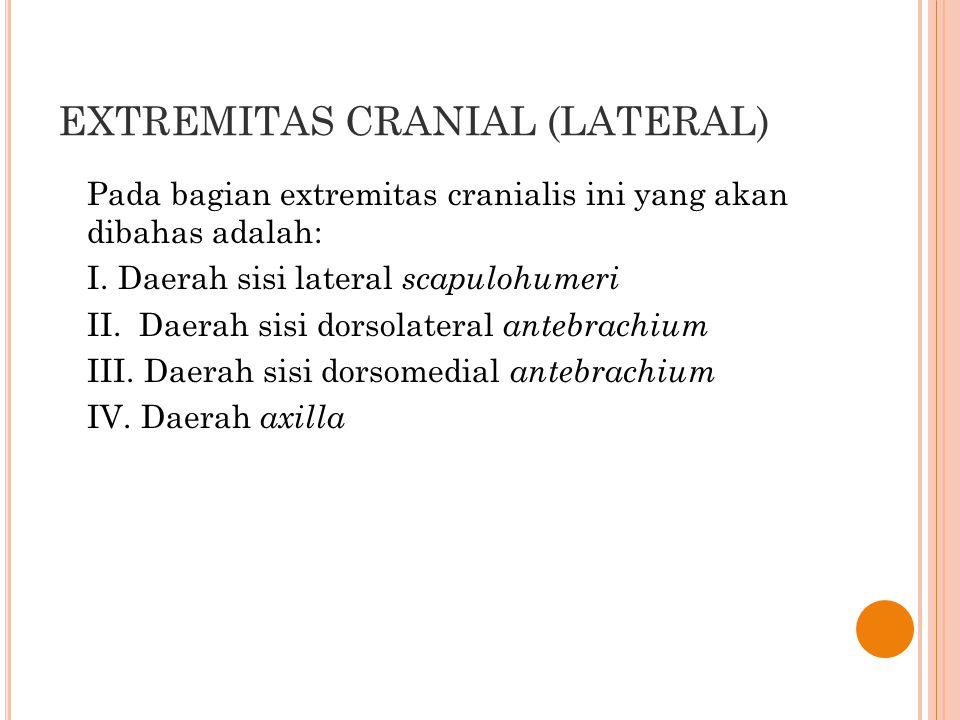 EXTREMITAS CRANIAL (LATERAL) Pada bagian extremitas cranialis ini yang akan dibahas adalah: I. Daerah sisi lateral scapulohumeri II. Daerah sisi dorso