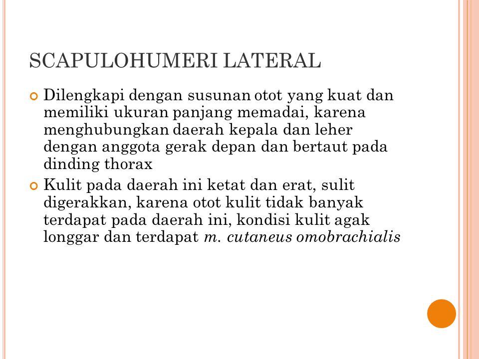 SCAPULOHUMERI LATERAL Batas-batas daerah lateral scapulohumeri: PROXIMAL: daerah DORSOSCAPULA DISTAL : daerah CUBITI dan PROXIMAL ANTEBRACHIUM CRANIAL : daerah COLLI LATERAL CAUDAL : DAERAH thorax lateral TITIK ORIENTASI daerah ini: Spina Scapula Tuber olecranon