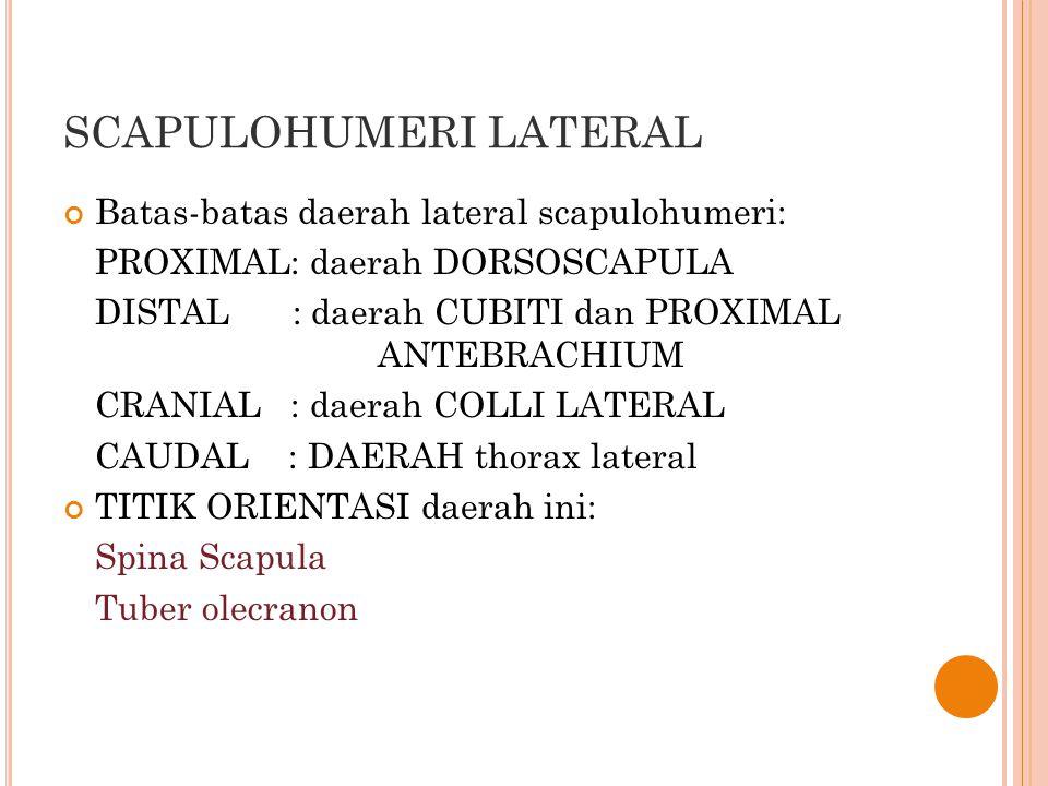 SCAPULOHUMERI LATERAL Batas-batas daerah lateral scapulohumeri: PROXIMAL: daerah DORSOSCAPULA DISTAL : daerah CUBITI dan PROXIMAL ANTEBRACHIUM CRANIAL